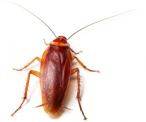 Larger American Cockroaches are easily exterminated by the Cockroach Control Philippi experts at Service Giant.