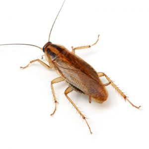 German Cockroach Control Cape Town is a tailored and guaranteed extermination service offered by Service Giant, your cockroach authorities within the cape.