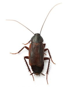 Although rare, Oriental Cockroach Control Tokai is also a service offered by your local specialists at Service Giant.