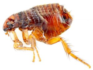 Dog Flea Control Cape Town effectively exterminated any flea infestation, fast and effectively with no mess and no smell. This guaranteed service is proundly Service Giant