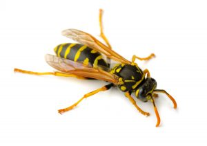 European Wasp Control Cape Town should always be undertaken by a reputable pest and Wasp Removal company. Service Giant are your local Wasp specialists in the Cape.