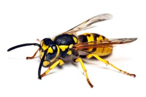 German Wasp Control Cape Town is another guaranteed safer and eco-friendly service offered by Service Giant Pest Control here in the Cape.