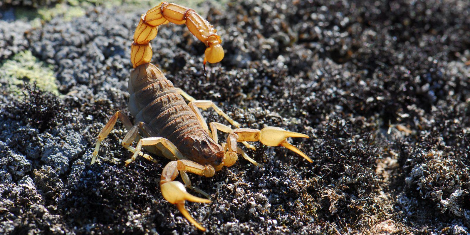 Scorpion Control Cape Town