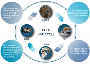 Flea Control Cape Town can put a stop to a FLeas life cycle. By using insect growth regulators and resistance breaking technology, biting insects dont stand a chance our Service Giant extermination teams.